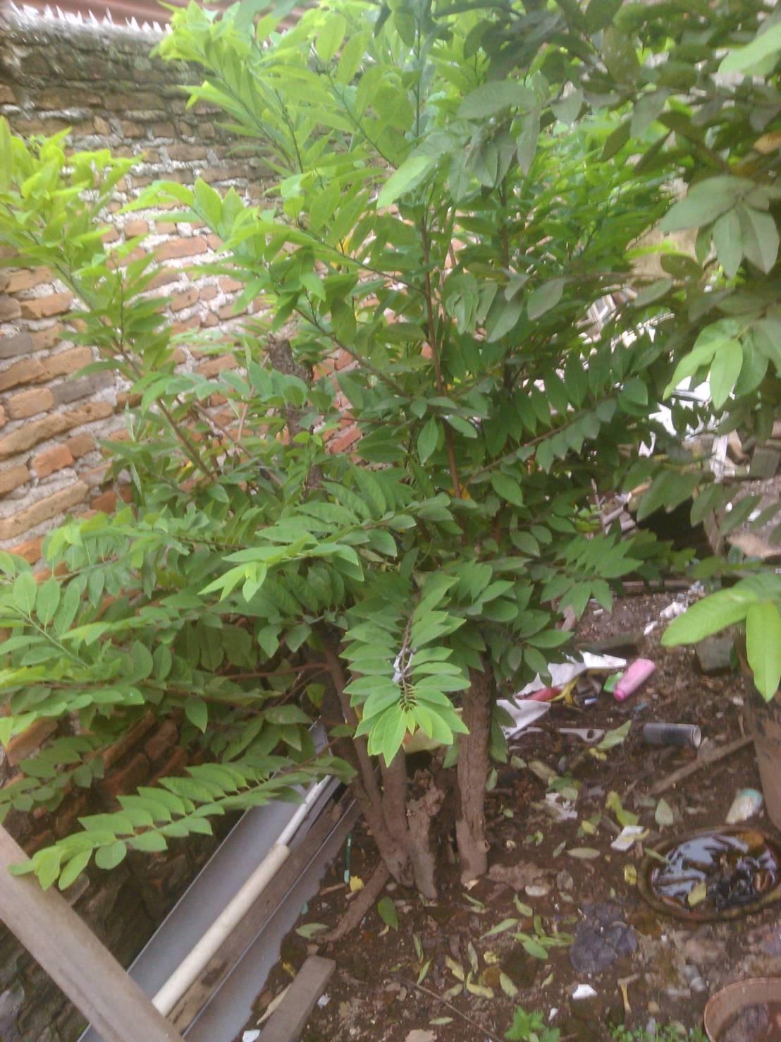 pohon-srikaya-belum-berbuah