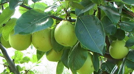 Harga buah pear mojosari 2017