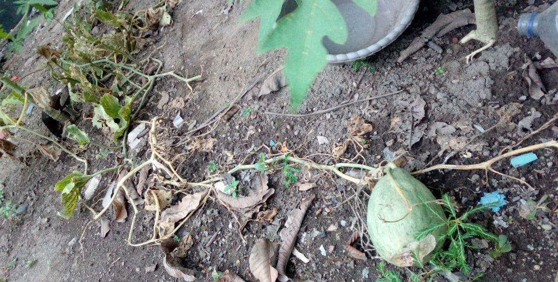 tanaman-melon-yang-hampir-mati-compressed