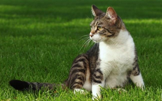 Kucing kampung cantik
