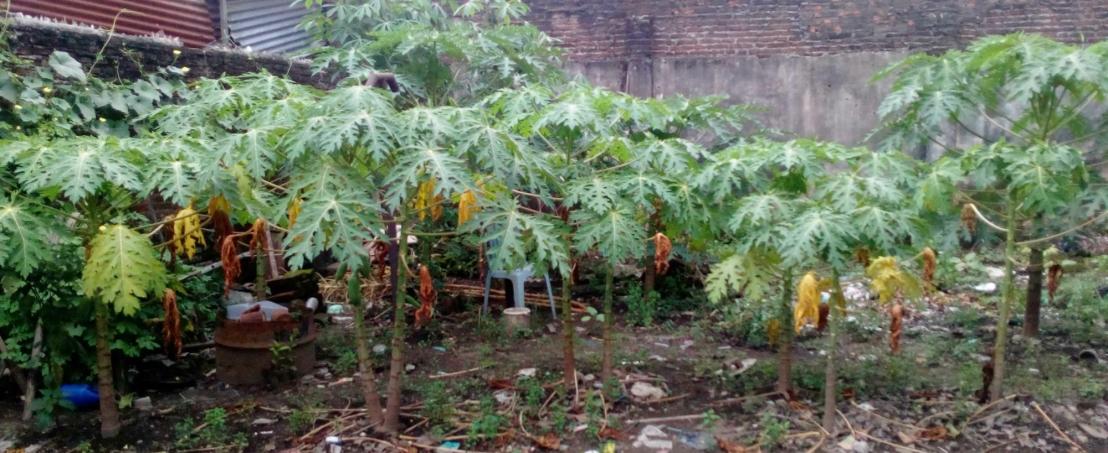 Banyak Pohon pepaya tumbuh di bagian pojok kebun