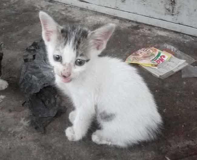 Perkembangan kucing-kucing kampung