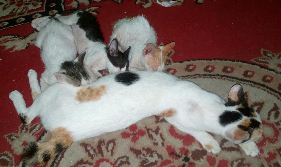 Tingkah Laku Kucing Kampung