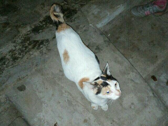 Kucing kampung hamil